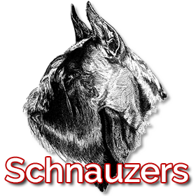 Pomerland Schnauzer Gigante