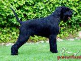 Pomerland Boss de Ferruxo Cans