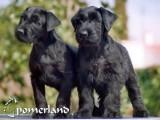 Cachorros de Pomerland