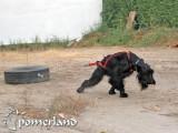 Ripply de Pomerland realizando arrastre