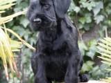 Cachorro de Pomerland
