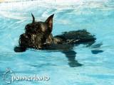 Ch. Puskín de Pomerland bañandose en la piscina