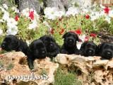 Cachorros de Pomerland con 25 días