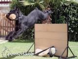 Ch. Dakota de Pomerland realizando salto con apport